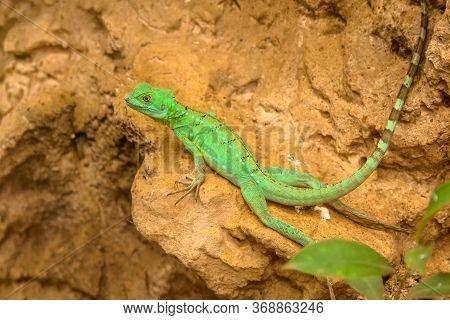 Plumed Basilisk Lizard Or Green Basilisk Or Double Crested Basilisk Or Jesus Christ Lizard. A Large