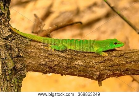 Close Up Of A Green Gecko, Phelsuma Madagascariensis Species, Also Called Madagascar Day Gecko. It L