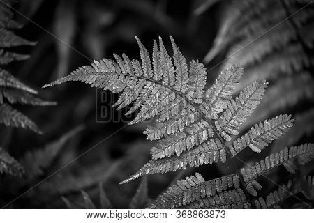 A Glistening Fern In The Rain Makes For A Nice Black And White Leafy Background. North Carolina.