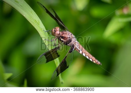 A Female Common Whitetail Skimmer Rests On A Leaf. North Carolina.