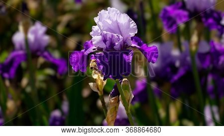 A Multi Toned Purple Bearded Iris Stands Out In A Field Of Blooming Flowers Stalks.