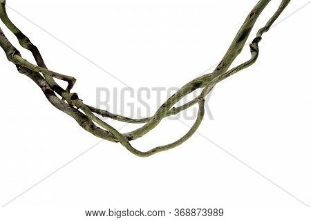 Wood Root Bush Grape Or Three-leaved Wild Vine Cayratia (cayratia Trifolia) Liana Ivy Plant Bush, Na