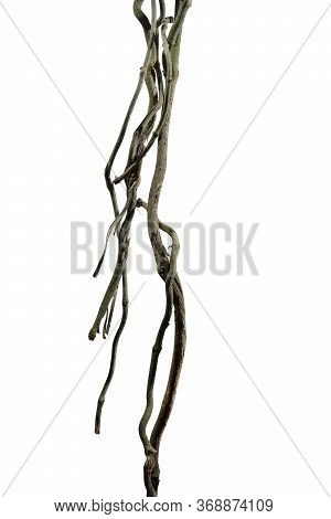 Wood Root. Spiral Twisted Jungle Tree Branch, Vine Liana Plant Isolated On White Background, Nature