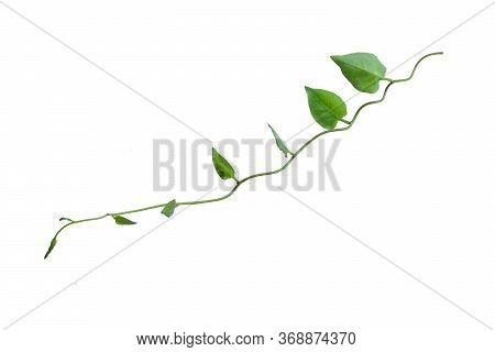 Twisted Jungle Vines Liana Plant With Heart Shaped Green Leaves Isolated On White Background, Clippi