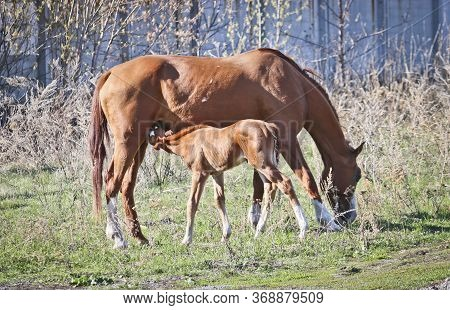 Chestnut Foal Sucks A Maternal Udder. Springtime