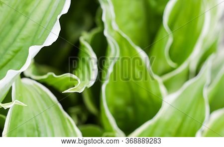 Natural Background. Hosta (funkia, Plantain Lilies) In The Garden. Green Leaves With White Border