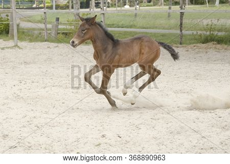 Cute Small Brown Foal Running In Gallop, Free In The Field. Animal In Motion. Mare Filly One Week Ol