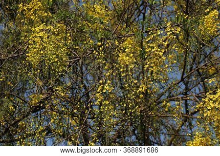 Cassia Fistula, Commonly Known As Golden Shower, Purging Cassia, Indian Laburnum, Or Pudding-pipe Tr
