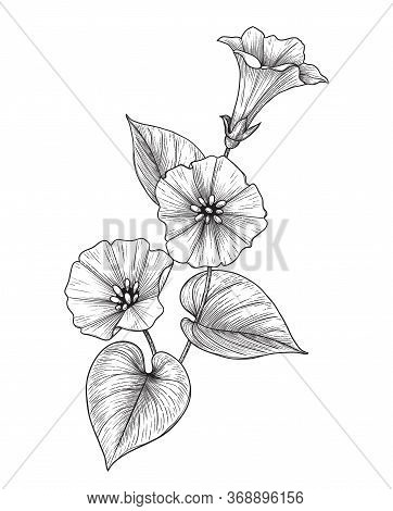 Hand Drawn Bindweed Flower With Leaves Isolated On White Background. Vector Monochrome Elegant Flora