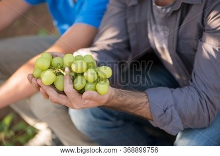Agricultural Checking Quality Wine Grapes In Vineyard. Close-up Man Hands With White Grapes. Wine Gr