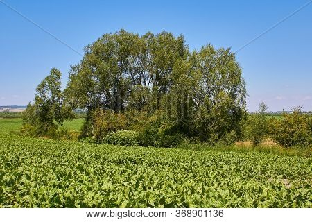 Tree In The Middle Of A Beet Field, Growing Sugar Beets In A Farmers Field, A Tree Growing In A Beet