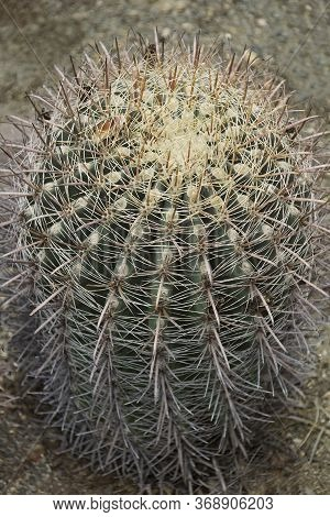 Fishhook Barrel Cactus (ferocactus Wislizeni). Called Arizona Barrel Cactus, Candy Barrel Cactus And