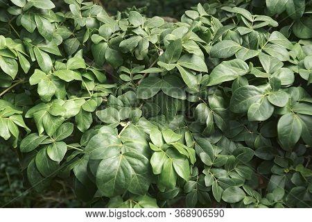 Roughbark Lignum-vitae (guaiacum Officinale). Called Guaiacwood Also