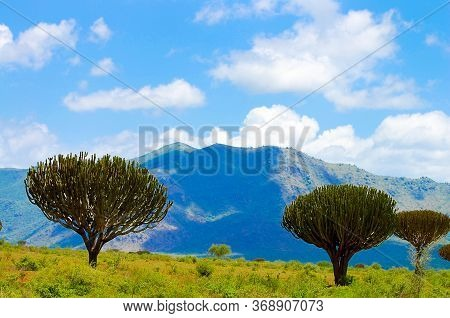 A Candelabra Tree In The African Wild