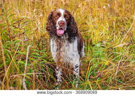 Brown And White English Springer Spaniel Dog On Autumn Field. The Pet Has Wet Hair After An Active W