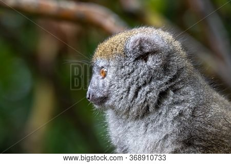 A Portrait Of A Bamboo Lemur In Its Natural Environment