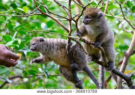 Funny Bamboo Lemurs On A Tree Branch Watch The Visitors