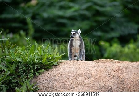One Ring-tailed Lemur On A Large Stone Rock