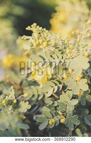 Vertical Background With Cassia Bicapsularis Or Butterfly Bush In A Sunny Day. Outdoor Garden Plant