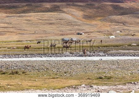Altai, Mongolia - June 14, 2019: Camel Team In Steppe With Mountains In The Background. Altai, Mongo
