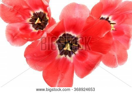 Red Tulip. Large Open Flowers. Close-up Of Tulip Petals With Pestle And Stamens. Top View