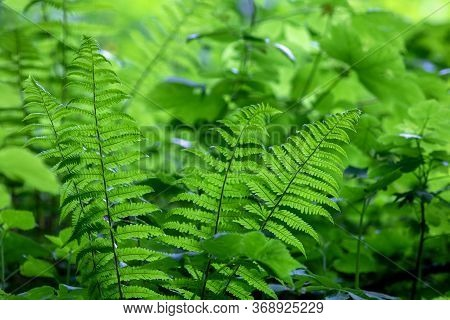 Green Growing Fern On The Field, In The Grass And Sunlight, Nature Background