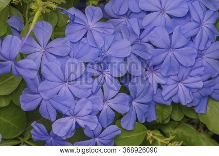 Plumbago Auriculata Lam. , Widely Known As Plumbago Capensis. Blue Plumbago Blooming Blossom Closeup