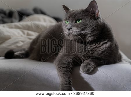 Russian Blue Cat On White Cat, Russian Blue, Sleepy, Sweet, Relax, Portrait, Pedigreed, Isolated, Po