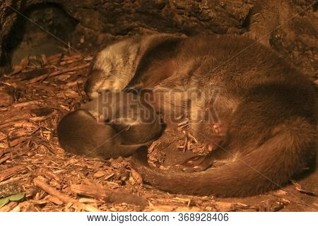 Eurasian Otter Mother Suckling Her Two Cubs. Parental Care In Otter Lair. Lutra Lutra Species