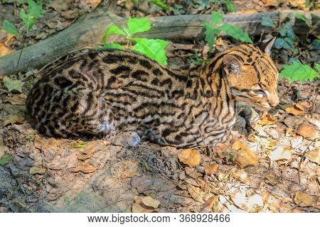 Sitting Ocelot Leopard, Leopardus Pardalis Species , Resting In The Forest. Wild Cat Living In Rainf