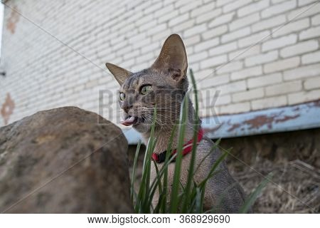 Abyssinian Cat, Funny Pets, Tongue, Funny Animal Photos
