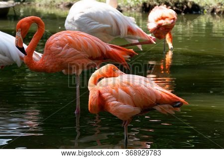 Beautiful Pink Flamingos Stands In The Water.one Bird Scratches Its Back With Its Beak. Reflection O