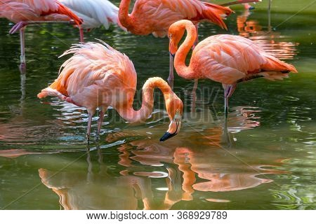Beautiful Pink Flamingos Stands In The Water. A Bird Looks Into The Water In Search Of Food. Reflect