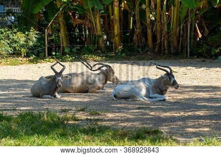 A Group Of Three Beautiful Antelopes Lies Resting In The Shade. Sunny Summer Day. Wire Fence In The