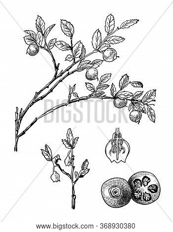 Hand Drawn Branch And Berry Of Blueberry With Leafs. Drawing Sketch Of Forest Fruit. Ink Line Botani