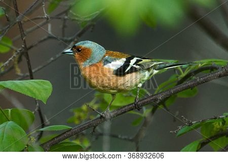 Bird - Common Chaffinch ( Fringilla Coelebs ) Male Sitting On A Tree Branch And Resting. Sunny Summe