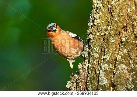 Bird - Common Chaffinch ( Fringilla Coelebs ) Male Sitting On Tree And Resting. Sunny Summer Morning