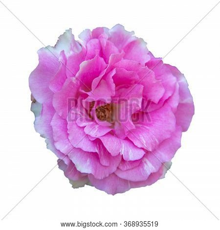 Pink Rose Flower Isolated On White Background With Clipping Path. Blooming Soft Pink Rose Flower.