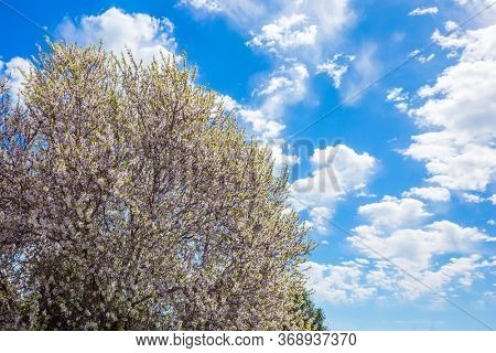 Spring in Israel.White-pink olive tree flowers. Lush spring olive tree flowering is the basis of olive oil production.  Light spring clouds over blooming land. Ecological and photo tourism concept