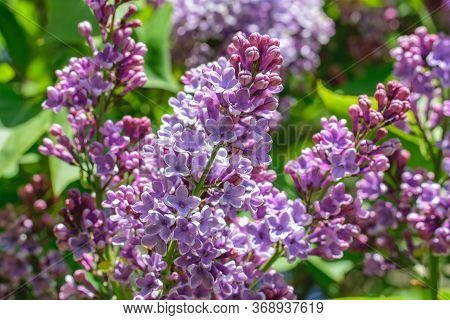 Luxurious Branches Of Blooming Lilac Close-up In Spring.