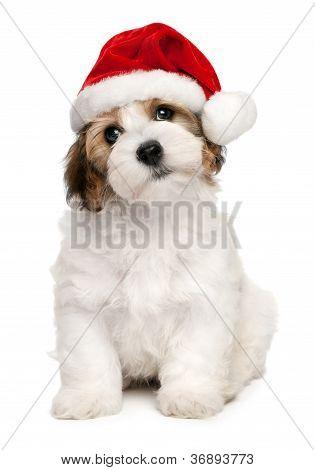 Weihnachten Havaneser Welpen Hund