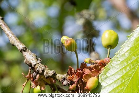 Little Cherries Ripening On A Cherry Tree In An Orchard During Summer