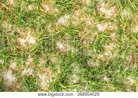 Poplar Fluff On Green Grass. Fluffy And Airy Fluff Of Trees Background