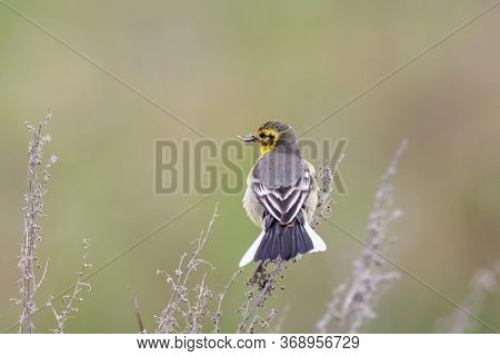 Citrine Wagtail Motacilla Citreola Female Sitting On Grass With Insect In Beak. Cute Little Rare Son