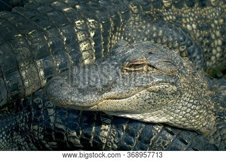 Alligators Crouch Along One Another And Are Interwoven With Bodies. Alligators Breeding Farm. Crocod