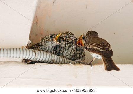 Spotted Flycatcher Nestlings In Nest On Building In City. Cute Baby Birds In Wildlife.
