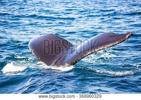 Whale Watching Tour In Dominican Republic. Humpback Whale Splashing Tail In Samana, Dominican Republ