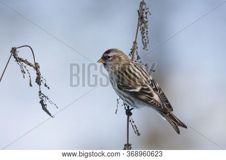 Common Redpoll Female Perched On Nettle Grass. Cute Little North Migrant Winter Songbird. Bird In Wi