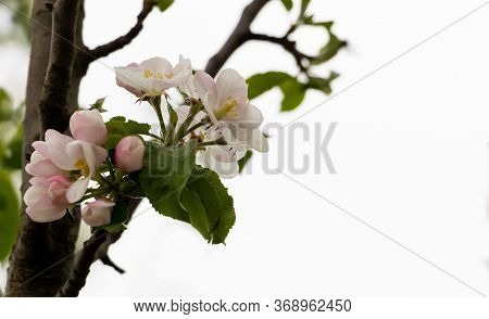 Apple Tree In Bloom With Wite-pink Petals