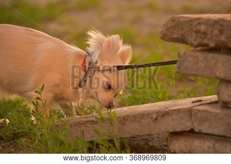 Chihuahua Longhaired Dog Portrait. Beautiful White Long-haired Chihuahua Breed Dog Walks In Tall Gre